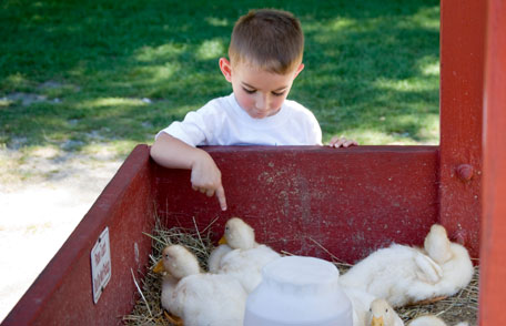 picture of little boy playing with chickens